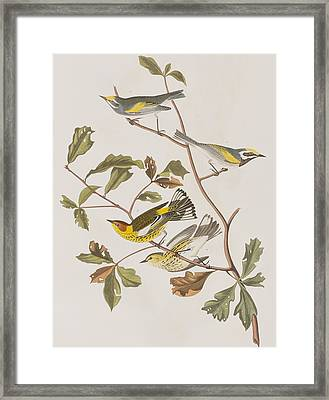 Golden Winged Warbler Or Cape May Warbler Framed Print
