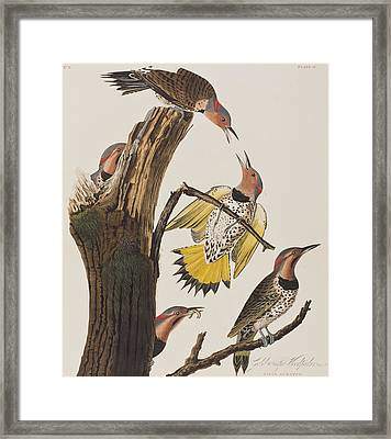 Golden-winged Woodpecker Framed Print by John James Audubon