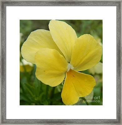 Golden Yellow Flower Framed Print