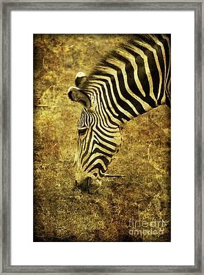 Golden Zebra  Framed Print by Saija  Lehtonen