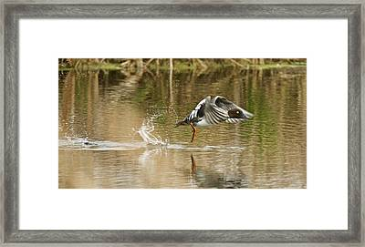 Goldeneye Taking Flight Framed Print