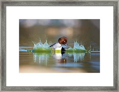 Goldeneye Framed Print by Thy Bun