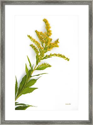 Goldenrod Framed Print by Christina Rollo