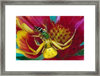 Goldenrod Crab Spider Misumena Vatia Framed Print