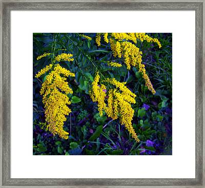 Framed Print featuring the photograph Goldenrod by Shawna Rowe