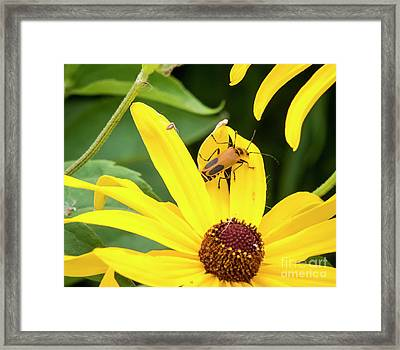 Framed Print featuring the photograph Goldenrod Soldier Beetle by Ricky L Jones