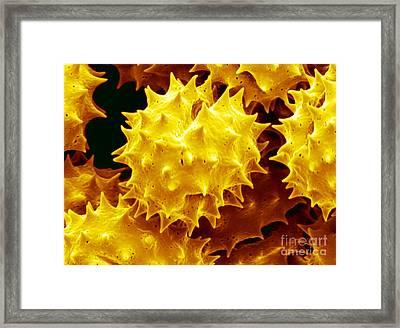 Goldenrod Solidago Sp Framed Print