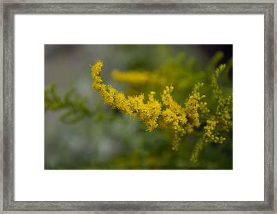 Goldenrod, The Nebraska State Flower Framed Print