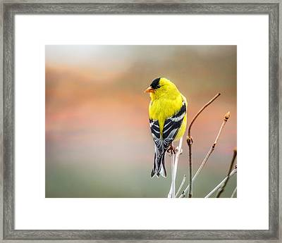Goldfinch At Sunrise Framed Print