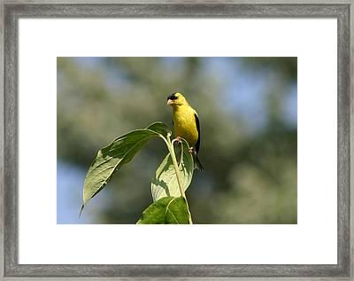 Goldfinch Atop Dogwood Framed Print