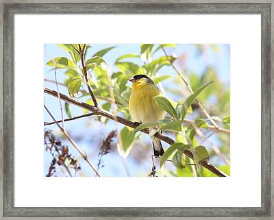 Goldfinch In Spring Tree Framed Print by Carol Groenen