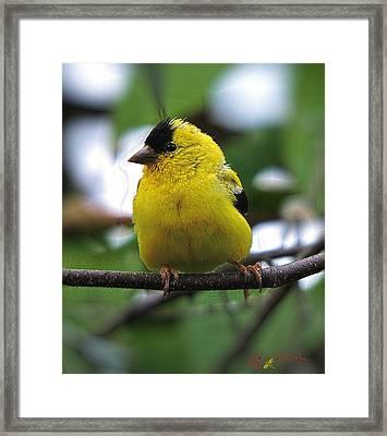 Framed Print featuring the digital art Goldfinch by John Selmer Sr