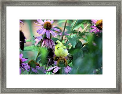 Goldfinch On Coneflowers Framed Print