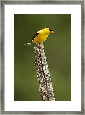 Goldfinch On Lichen Post Framed Print by Alan Lenk
