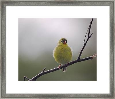 Framed Print featuring the photograph Goldfinch Puffball by Susan Capuano