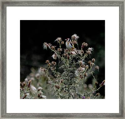 Framed Print featuring the photograph Goldfinch Sitting On A Thistle by Scott Lyons