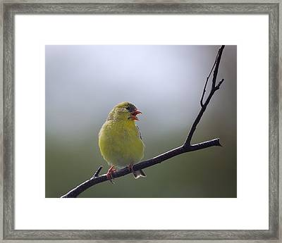 Framed Print featuring the photograph Goldfinch Song by Susan Capuano