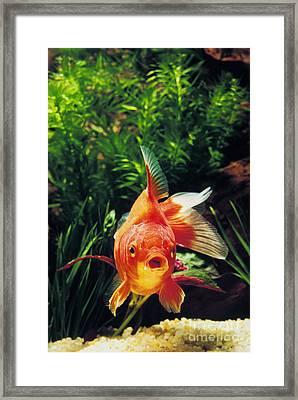 Goldfish Carassius Auratus Framed Print by Gerard Lacz
