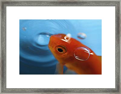 Goldfish Opening Its Mouth To Catch It's Food Framed Print by Sami Sarkis