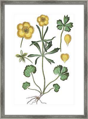 Goldilocks Buttercup, Ranunculus Auricomus Framed Print