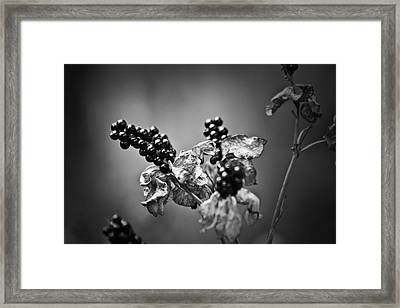 Gone To Seed Blackberry Lily Framed Print by Teresa Mucha