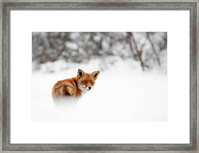 Gonna Walk And Don't Look Back - Red Fox In The Snow Framed Print by Roeselien Raimond