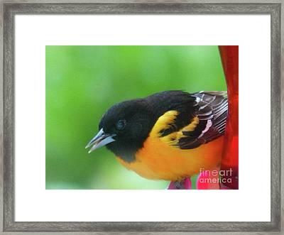 Good Morning Mr. Oriole Framed Print