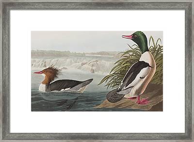 Goosander Framed Print by John James Audubon