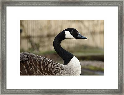 Goose Curves Framed Print