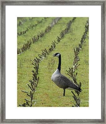 Goose In Field Framed Print by Bill Kellett