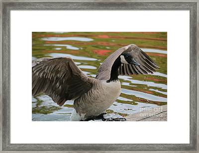 Goose Out Of Water Framed Print