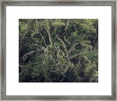 Framed Print featuring the photograph Gordian Oak by Alexander Kunz