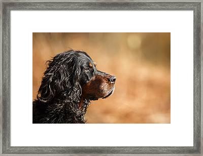 Gordon Setter Portrait Framed Print