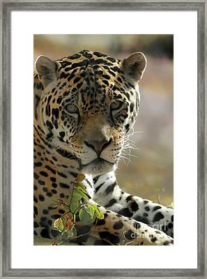 Gorgeous Jaguar Framed Print by Sabrina L Ryan