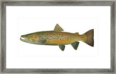 Gorgeous Trout Framed Print by Paul Vecsei