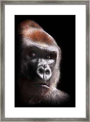 Gorilla ... Kouillou Framed Print