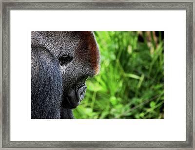Gorilla Portrait Framed Print by Dan Pearce