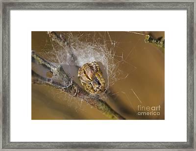 Gorse Orbweaver Framed Print