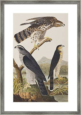 Goshawk And Stanley Hawk Framed Print by John James Audubon