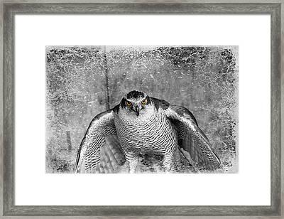 Goshawk Framed Print by Fiona Messenger