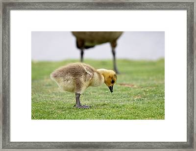 Framed Print featuring the photograph Gosling - 2 by Christy Pooschke