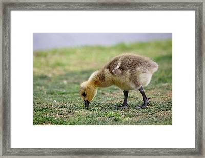 Framed Print featuring the photograph Gosling - 1 by Christy Pooschke