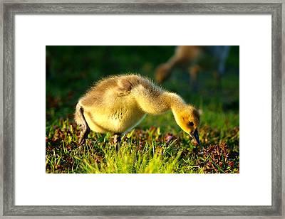Gosling In Spring Framed Print by Paul Ge