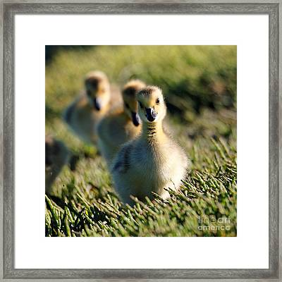 Gosling March Framed Print