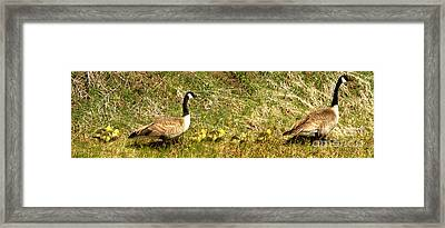 Goslings And Parents Swimming Up The Snake River Framed Print
