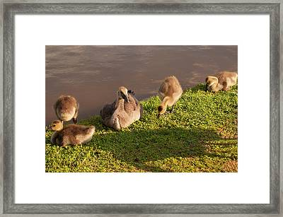 Framed Print featuring the photograph Goslings Basking In The Sunset by Chris Flees