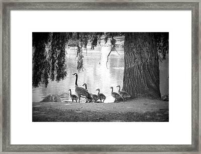 Goslings Bw7 Framed Print by Clarice Lakota