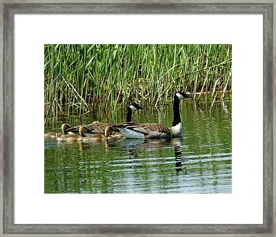 Goslings In Tow Framed Print