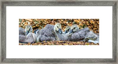 Goslings Framed Print