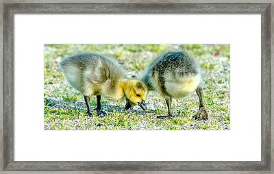 Framed Print featuring the photograph Goslings Snacking by Steven Santamour